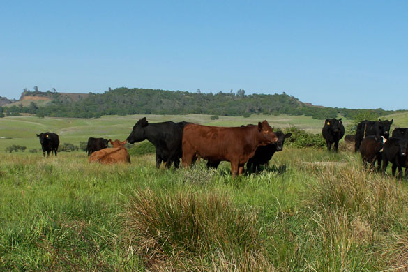 Grassfed Beef Cattle on Rangeland Under Table Mountain
