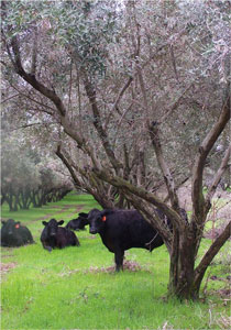 Grassfed Beef Steers Grazing Olive Orchards