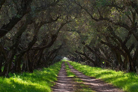 Chaffin 100 year old Mission Olive Orchards - Photo by Tony Dunn