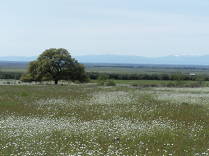 Chaffin Orchards Oak and Wildflowers in Rangeland