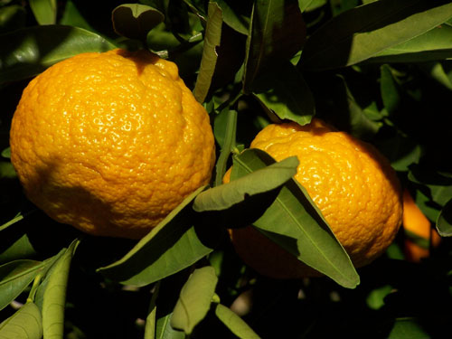 Sweet Seedless Satsuma Mandarins