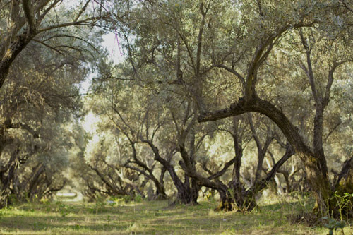 Mission Olive Grove