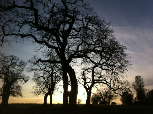 Oak Tree Silhouette on Table Mountain
