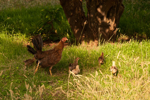 Hen raising chicks on grass pasture
