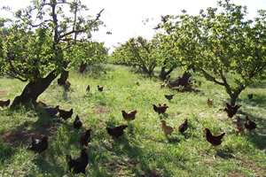 chickens in apricot orchards permaculture