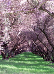Oroville Mission Olive Orchard