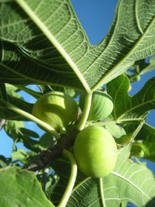 Yellow Calimyrna Figs