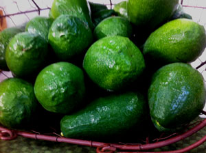 Cold Hardy Duke Avocados