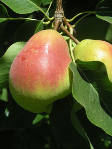 Heirloom Pears