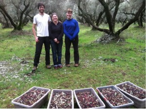 Picking Olives for Olive Oil